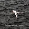 Galapagos  - Red-billed Tropicbird
