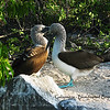 Galapagos  - Blue-footed Boobies 002
