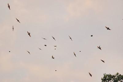 Flock of Bee Eaters