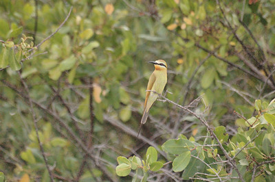 Another Bee Eater.