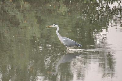 Grey Heron - early morning