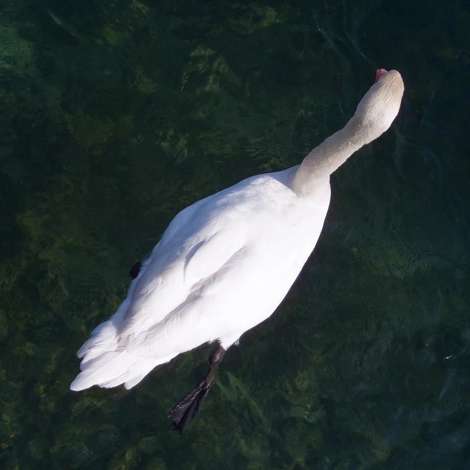 Swan on the very clear water