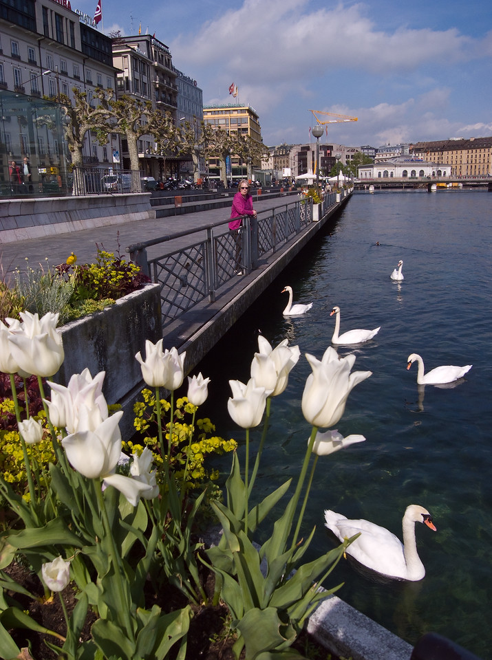 Mother and swans on banks of the Rhône with characteristic plane trees in background