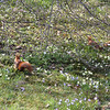 Red squirrels amongst the spring flowers