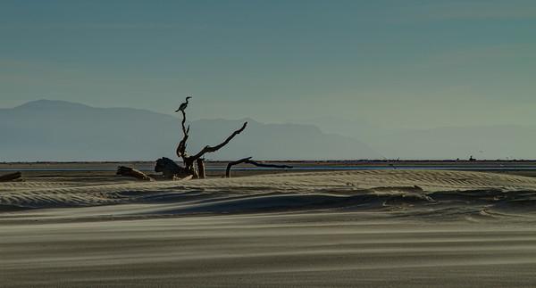 Gannet, Farewell Spit