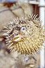 rhodes - spiny dried fish by harbour