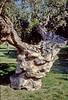 sparta - gnarled olive tree