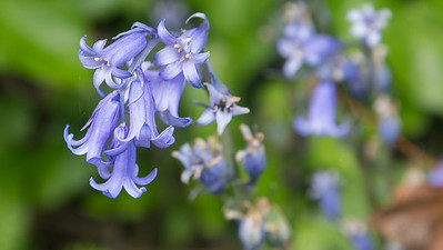 Blue Bells, Cliff, Guernsey, Places, Sea, Wild Flowers