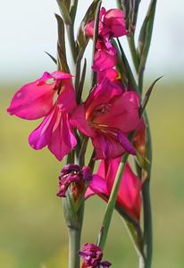 Wild Flowers, Rousse