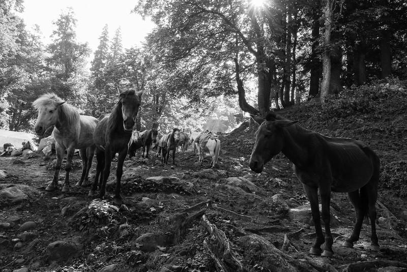 Wild horses at Jobra.