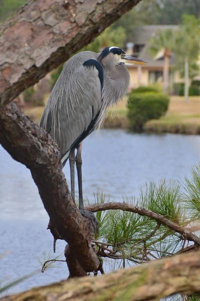 HHI Blue Heron 12-26-16