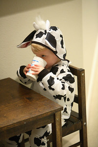 Little cow drinking milk...