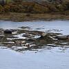 Seals at Finsbay