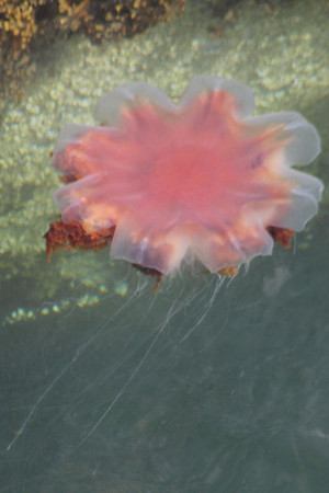Jellyfish by Brodick Pier. 5 July 2011