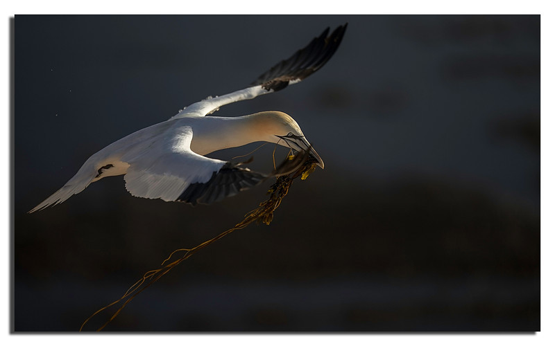 1. Gannets galore...............