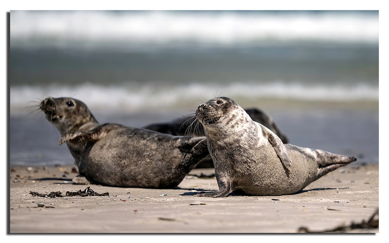 16. Grey Seals from nearby Island Düne.