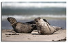 16. Grey Seals from nearby Island Düne.