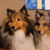 Two shelties: Robbie Burns and Bowsar