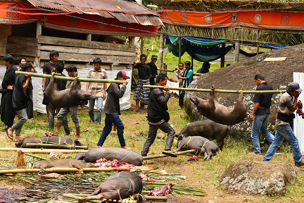 Unlike the buffaloes who have a very good life and are being taken care of, pigs don't benefit from the same treatment.