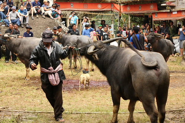 Shortly after, buffaloes were brought and tied to a pole. All guests were waiting for what was about to become a blood bath according to European standards. However, here it is considered something normal and children also watch it.