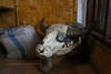 Buffaloes are sacrificed during funeral ceremonies. Some people keep buffalo skulls from funerals inside the house.