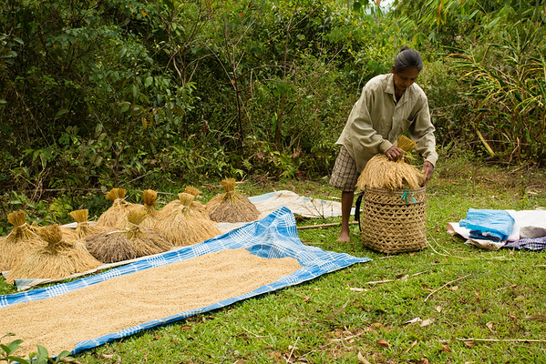 Rice harvesting, like many other activities, are entirely manual.