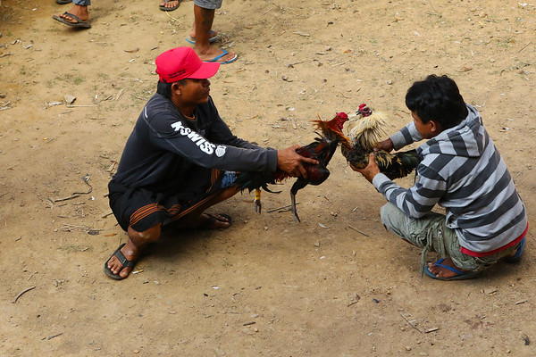 The roosters are forced to bite each other a bit before being released by their owners. This makes sure they will attack as soon as they have the chance. There are also sharp, metal parts connected to the legs to make them more effective.