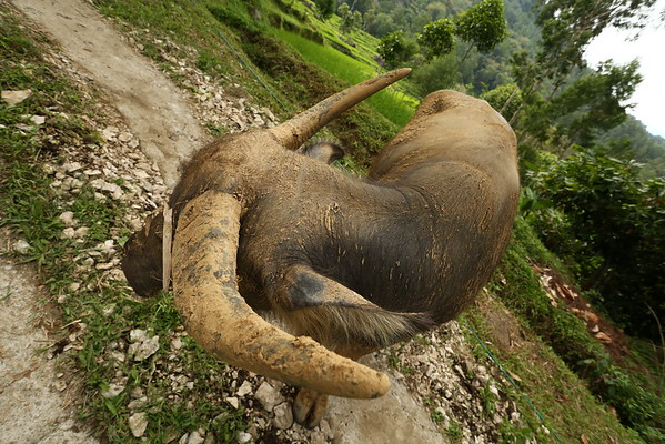 Buffaloes are being taken care of during their life. They will all be sacrificed at the funerals.