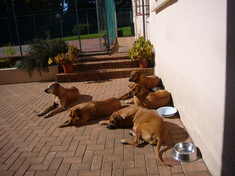 First stop: Impangele Guest House in Joburg. 24 hours to refresh before the flight north, guarded by 6 Rhodesian Ridgebacks