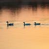 Ducks at sunrise.