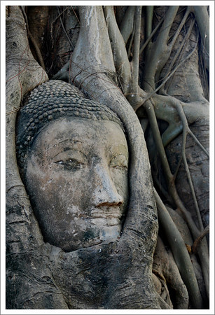 Many buddhist statues at Ayutthuya were decapitated during a war with the Cambodians.  This head was covered with dirt, but later the roots of a tree grew around it, and eventually pushed it up out of the ground.
