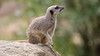 Animals, Channel Islands, Durrell Wildlife Park, Jersey, Meerkat, Places, Slende-tailed Meerkat