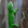 Animals, Gecko, Jersey; Jersey Zoo,,Trinity,Jersey