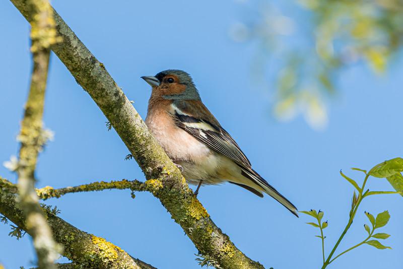 Animals, Birds, Chaffinch, Jersey Zoo - 13/05/2019@17:16