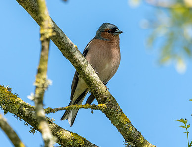 Animals, Birds, Chaffinch, Jersey Zoo - 13/05/2019@17:15