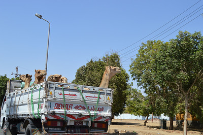 30424_Camels