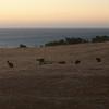 Kangaroos at dusk