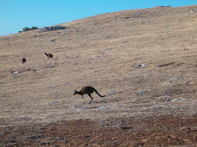 It was very nice to sit and watch the Kangaroos while having a beer after the day's sight seeing