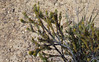 Kangaroo Island Gland-flower. It is of the protea family