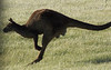 Got another one of the flying kangaroo