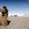 Bactrian camels at Nubra Valley.