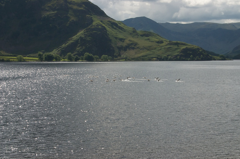 Geese seemed to be the second most common Crummock creature after sheep