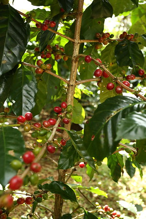 Coffee, some of the beans being almost ripe.