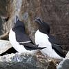 Razorbills, courting