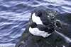 Thick-billed murre / Brunnichs Guillemot