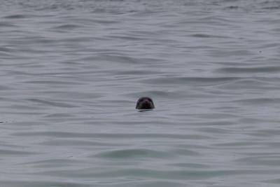 Common seal, Loch Roag