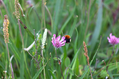 Red tailed bumblebee (Bombus lapidarius) on a clover flower on the Machair