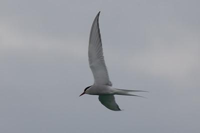 Arctic tern, Isle of Lewis