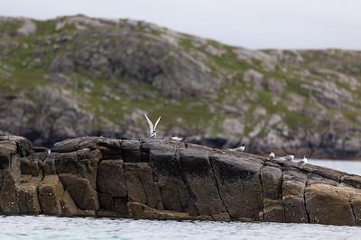 Common terns, Bhaltos, Lewis
