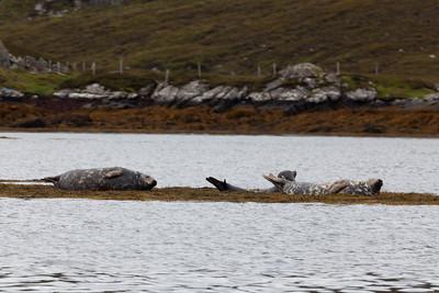 Grey seals, Loch an Stroim